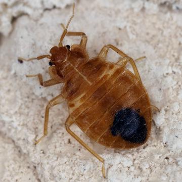 single-bed-bug