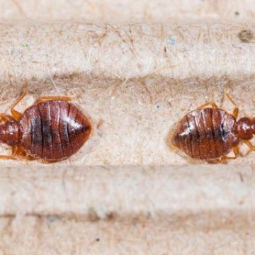 two-bed-bugs